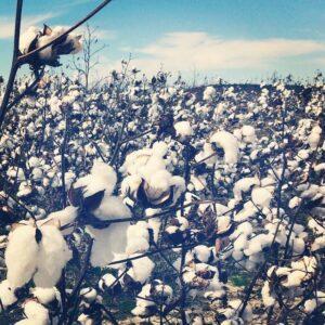 cottonfieldsSY