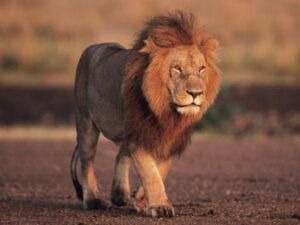 lion_img01-l